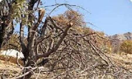 10 درصد درختان بلوط باشت در کهگیلویه و بویراحمد خشک شدند